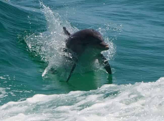destin screaming eagle dolphin sightseeing cruise