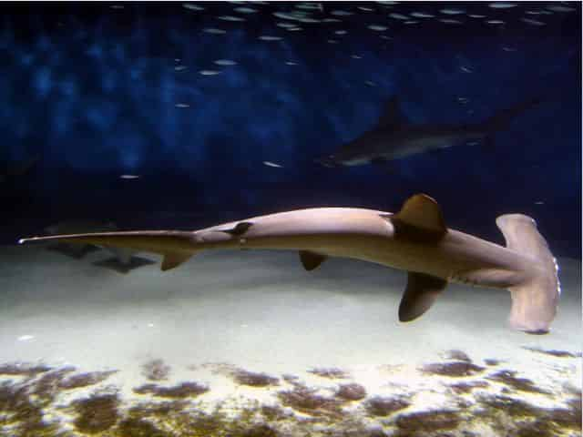 things to know about hammerheads