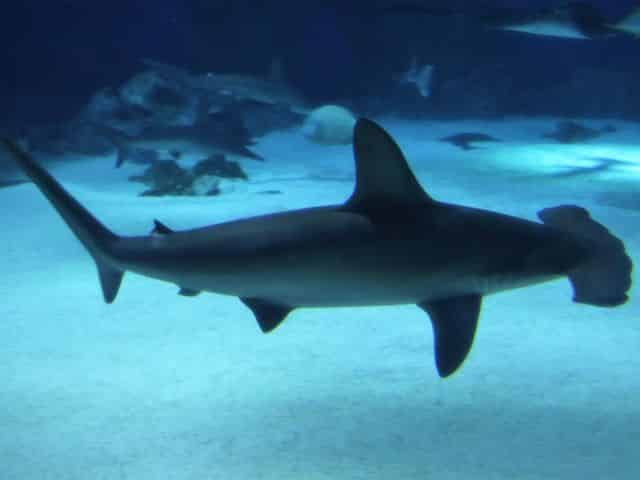 facts about hammerhead sharks