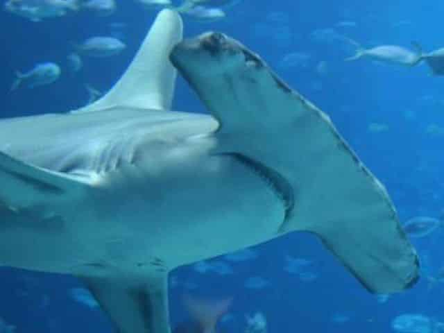 what to know about hammerhead sharks
