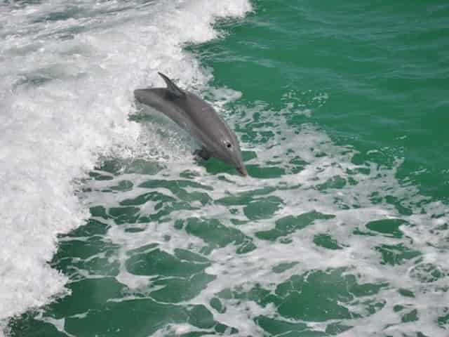 dolphins swimming in clearwater, fl
