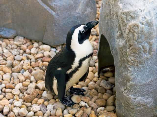penguin exhibit gulfarium