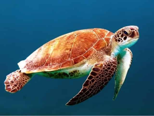 gulf coast sea turtle