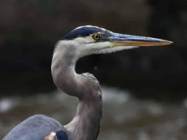 friendly gulf coast heron