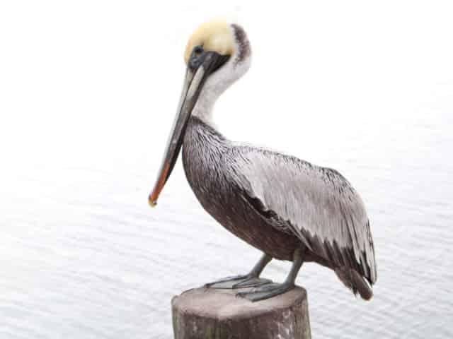 friendly gulf coast pelican