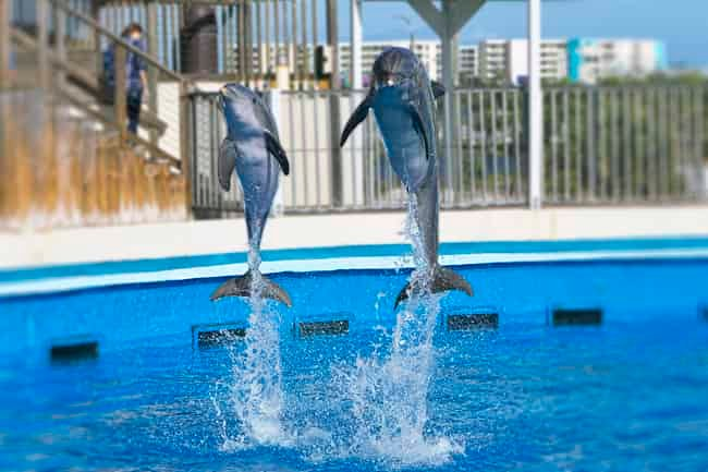 dolphins jumping at gulfarium marine adventure park