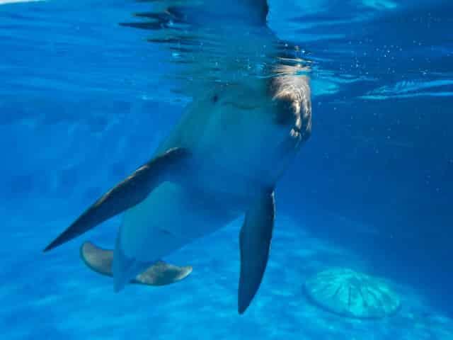 dolphin at the gulfarium marine adventure park
