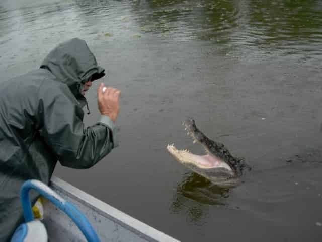 alligator sighted on airboat adventure