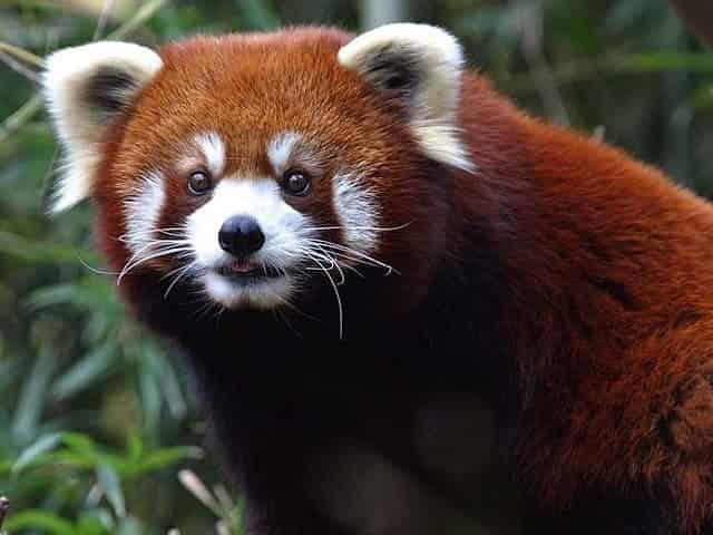 red panda at the Nashville Zoo