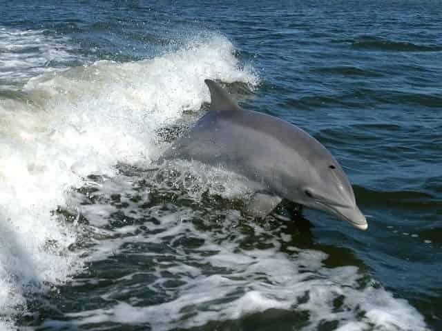 Dolphin sighting on a Myrtle Beach dolphin cruise