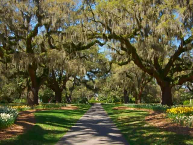 oak trees at Brookgreen Gardens