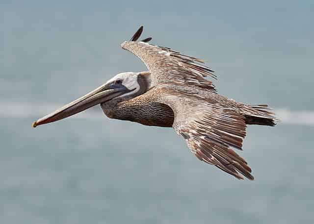 brown pelican in destin florida