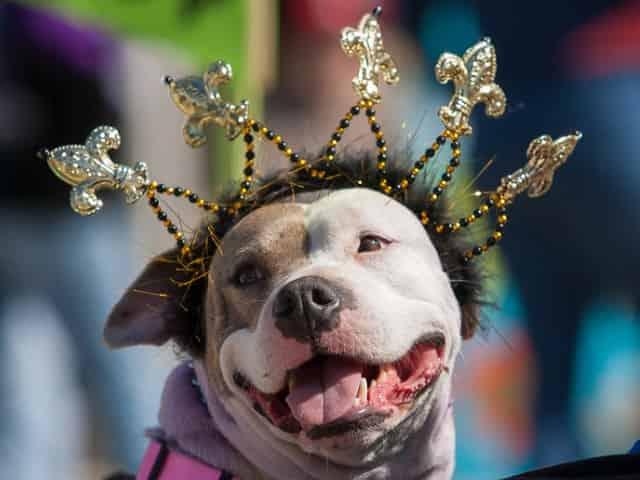 festive mardi gras pup