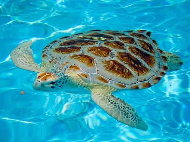 sea turtle at the turtle hospital in marathon