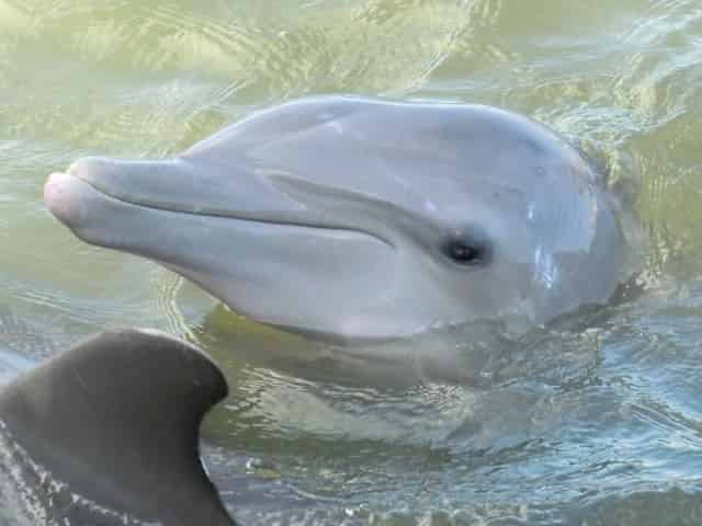 bottlenose dolphin at the dolphin research center
