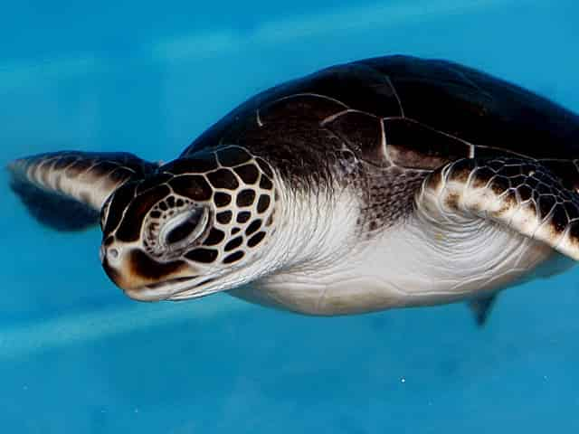 baby green sea turtle in key west