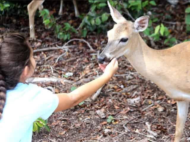 key deer from the florida keys