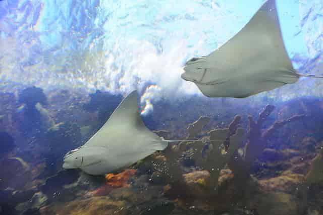 audubon aquarium stingrays swimming in new orleans