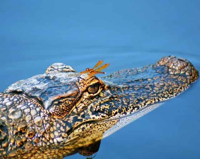 alligator at manchac swamp