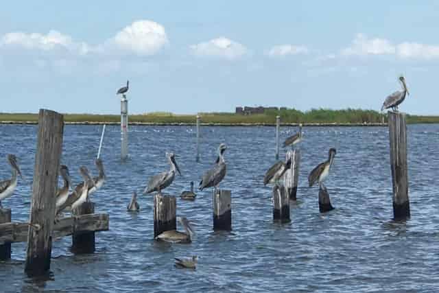 pelicans on a great delta tour
