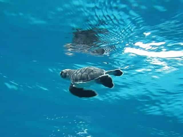 turtle swims during nesting season