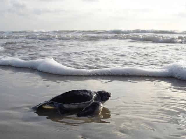 nesting season for sea turtles
