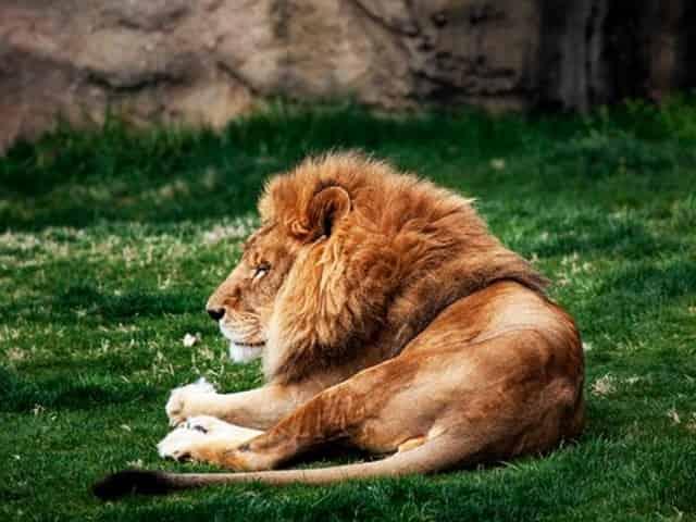 lion at the alabama gulf coast zoo