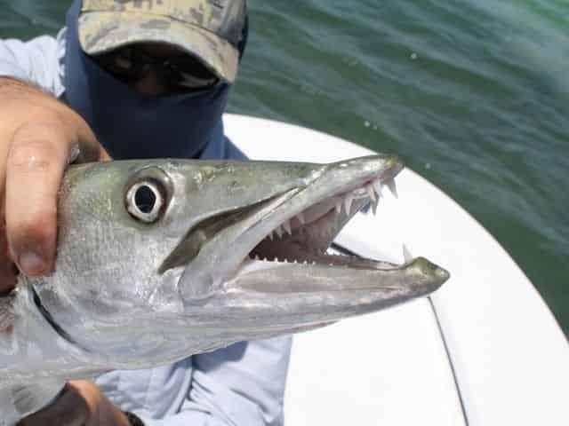 barracuda caught in Key West, Florida