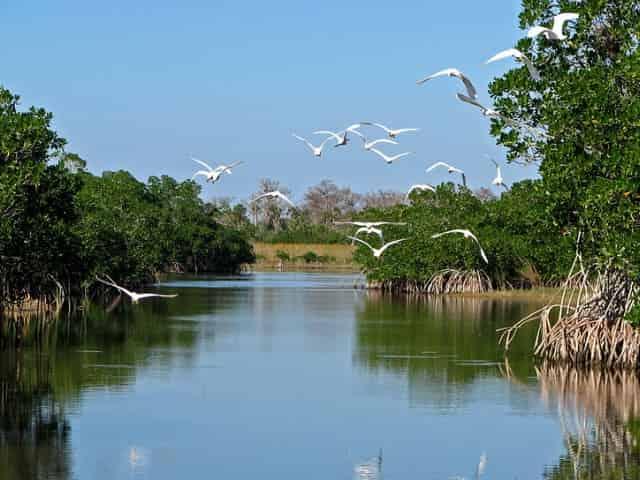 egrets flying over the florida everglades