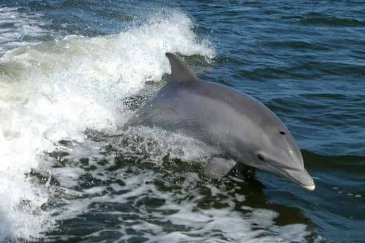 Where to See Dolphins in Myrtle Beach, SC