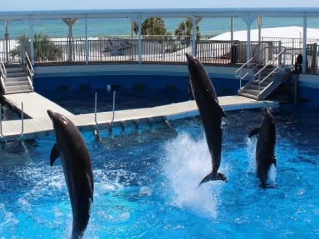 dolphins jumping at the gulfarium