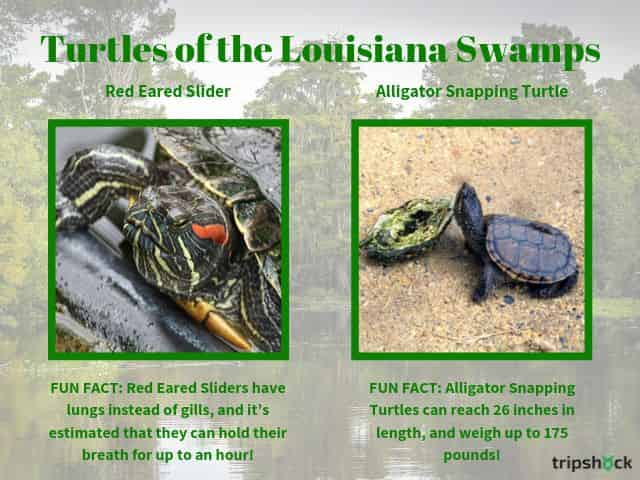 turtles of the louisiana swamps