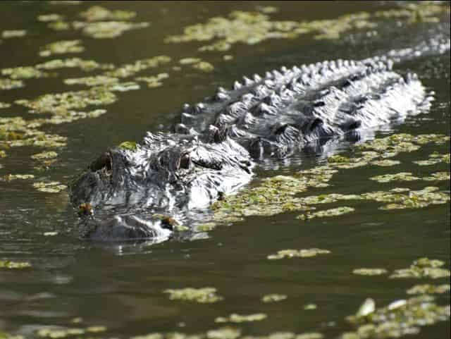 alligators in the swamps of new orleans