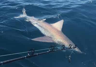 Shark Fishing with PC Florida Charters