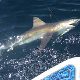Shark Fishing with PC Florida Charters