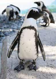 Discover Penguins at Gulfarium Marine Adventure Park