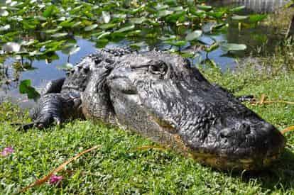 Everglades Safari Park Admission by Gray Line Miami